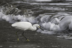 Egret nevado na ressaca Fotografia de Stock Royalty Free
