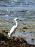 Egret nevado nas Caraíbas Fotografia de Stock