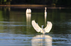 Egret nevado no lago Fotografia de Stock Royalty Free