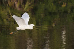 Egret nevado no vôo Imagem de Stock Royalty Free