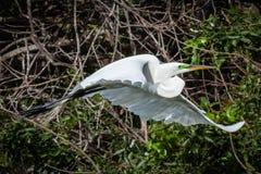 Egret nevado no vôo Fotos de Stock Royalty Free