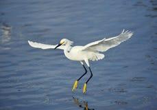 Egret nevado no vôo Fotografia de Stock
