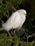 Egret nevado nos marismas foto de stock