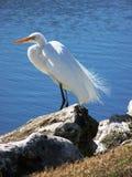 Egret nevado por el agua Imagenes de archivo
