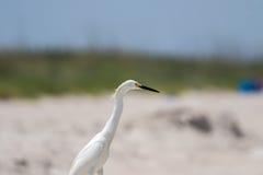 Egret nevado, praia de Playalinda, Merritt Island, Florida Foto de Stock