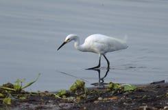 Egret nevado que anda pelo lago Imagem de Stock