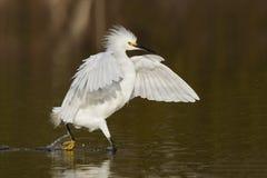 Egret nevado que desengaça um peixe em uma lagoa rasa - forte Myers Bea Fotografia de Stock