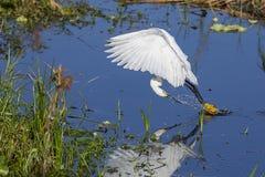 Egret nevado que desnata a água para agitar e travar peixes fotografia de stock
