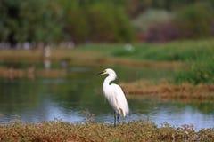 Egret nevado que está por um lago (grande arquivo) Fotografia de Stock