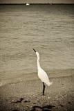Egret nevado que olha Skyward Ol Fotografia de Stock