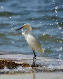 Egret nevado Foto de Stock Royalty Free