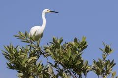 Egret nevado que se senta na parte superior de um arbusto nos manguezais imagem de stock royalty free