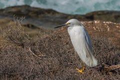 Egret nevado que senta-se na vegetação da escova perto do oceano foto de stock royalty free