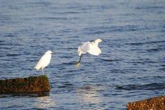 Egret nevado que toma um pulo Fotografia de Stock Royalty Free