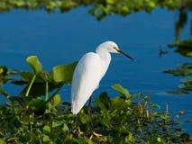 Egret nevado que vadea Imagenes de archivo