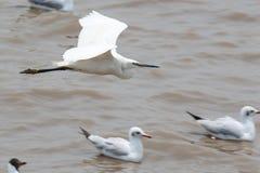 Egret nevado que voa sobre um lago Imagens de Stock Royalty Free
