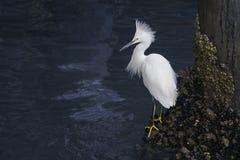 Egret nevado (thula del Egretta) Foto de archivo