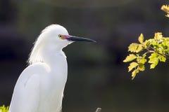 Egret nevado (thula del Egretta) Fotos de archivo