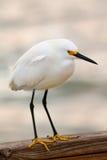 Egret nevado (thula del Egretta) Fotografía de archivo