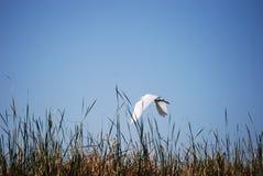Egret nevado (thula del Egretta) Imagen de archivo