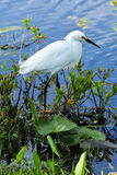 Egret nevado (thula do Egretta) Foto de Stock