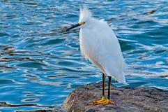 Egret nevado (thula do Egretta) imagem de stock