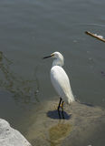 Egret nevado (thula do Egretta) Fotos de Stock