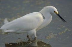 Egret nevado, (thula do Egretta) imagem de stock