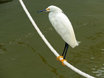 Egret nevado (thula do Egretta) Imagens de Stock Royalty Free