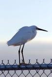 Egret nevado (thula do Egretta) Fotografia de Stock