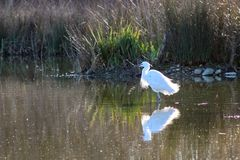 Egret nevado (thula do Egretta) fotografia de stock royalty free