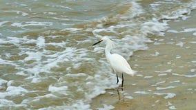 Egret nevado, thula do egretta, uma garça-real branca pequena na praia com ondas video estoque
