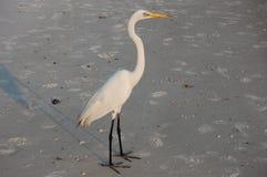 Egret nevoso bianco   fotografie stock libere da diritti