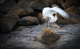 egret śnieg Obraz Royalty Free