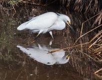 egret śnieg Zdjęcia Royalty Free