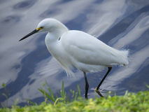 egret śnieg Obrazy Royalty Free