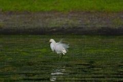 egret śnieg Fotografia Royalty Free