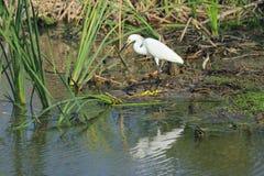 egret śnieg Fotografia Stock