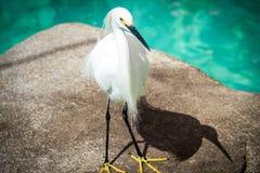 egret śnieg Zdjęcie Stock