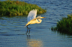 Egret no vôo 03 Fotografia de Stock