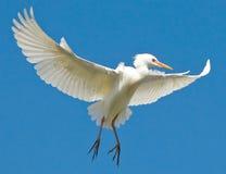 Egret no vôo Fotografia de Stock Royalty Free