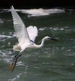 Egret no vôo foto de stock royalty free