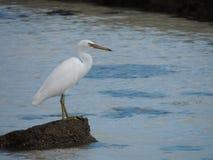 Egret oriental do recife ou sacros pacíficos do Egretta da garça-real do recife fotografia de stock royalty free