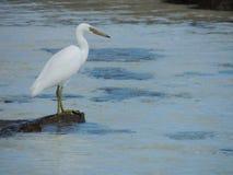 Egret oriental do recife ou sacros pacíficos do Egretta da garça-real do recife fotografia de stock