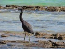 Egret oriental do recife ou sacros pacíficos do Egretta da garça-real do recife fotos de stock