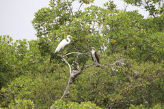 An Egret and an Osprey Stock Images