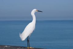 Egret Over Ocean. A small white egret gazes out over the ocean while standing on Venice Pier Royalty Free Stock Photos