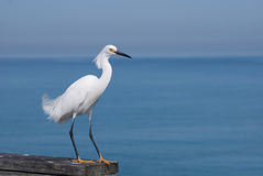 Egret Over Ocean. A small white egret walks along Venice Pier in Florida Royalty Free Stock Photography