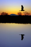 Egret Over Pond Royalty Free Stock Photo