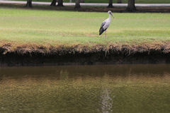 Egret or Pelicans standing on green lawn of public park. Royalty Free Stock Photo